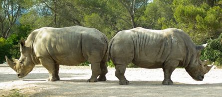 Two rhinos back to back